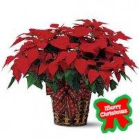 Poinsettia Plant, USA