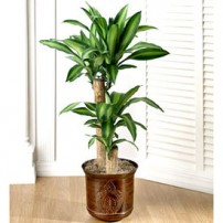 Dracaena Plant, USA